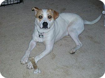 Pointer/Boxer Mix Dog for adoption in Brookeville, Maryland - Charlie