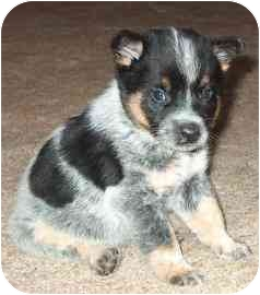 Australian Cattle Dog Dog for adoption in Phoenix, Arizona - Tyler