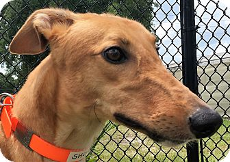 Greyhound Dog for adoption in Longwood, Florida - Hi Noon Shocker