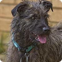 Adopt A Pet :: Shaggy - Knoxville, TN