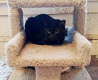 Domestic Shorthair Cat for adoption in Putnam, Connecticut - 21