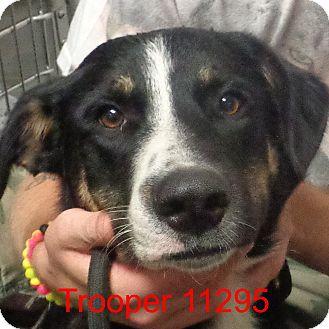 Australian Cattle Dog/Belgian Tervuren Mix Dog for adoption in Manassas, Virginia - Trooper