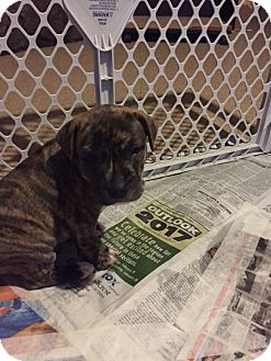 Pit Bull Terrier Mix Puppy for adoption in Norman, Oklahoma - Negan