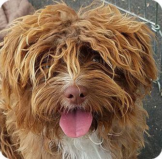 Maltese/Poodle (Miniature) Mix Puppy for adoption in Canoga Park, California - Wilma