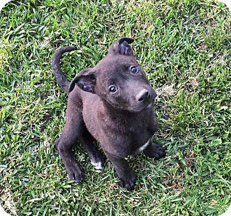 Labrador Retriever/Pit Bull Terrier Mix Puppy for adoption in Sagaponack, New York - Madison