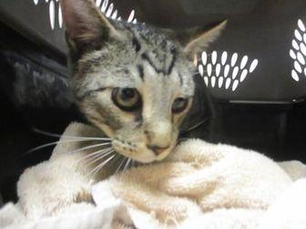 Domestic Shorthair/Domestic Shorthair Mix Cat for adoption in Houston, Texas - Tigger