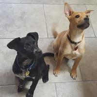 Adopt A Pet :: Baron - Las Cruces, NM