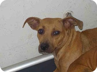 Jack Russell Terrier Mix Dog for adoption in Gainesville, Florida - MARSHA