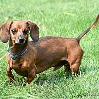 Adopt A Pet :: Joey, mini, 6 yrs, $300 fee - Spokane, WA