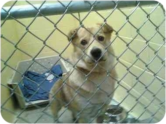Corgi/Chow Chow Mix Dog for adoption in Youngwood, Pennsylvania - Nugget