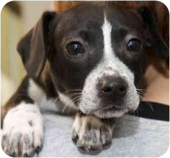 Terrier (Unknown Type, Medium) Mix Puppy for adoption in Mt. Prospect, Illinois - Lucy