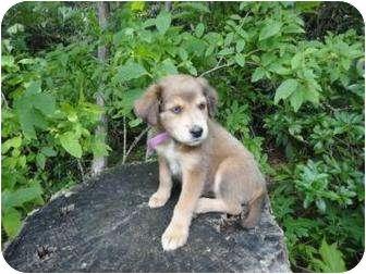 Husky/Weimaraner Mix Puppy for adoption in Spruce Pine, North Carolina - Kiki