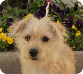 Terrier (Unknown Type, Small) Mix Dog for adoption in Houston, Texas - Muffin (So cute and sweet)