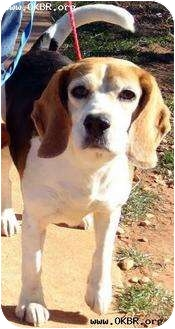 Beagle Dog for adoption in Norman, Oklahoma - Veronica