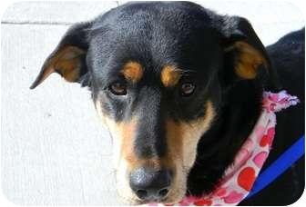 Shepherd (Unknown Type) Mix Dog for adoption in cameron, Missouri - Artie
