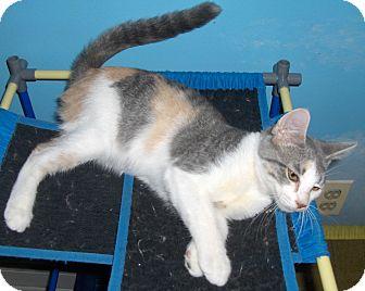 Calico Kitten for adoption in Richmond, Virginia - Dawn
