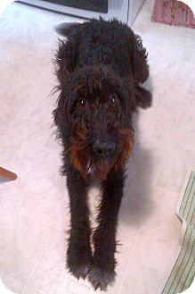 Airedale Terrier Mix Dog for adoption in Wethersfield, Connecticut - Moxie