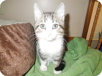 Domestic Shorthair Kitten for adoption in Medina, Ohio - Pawley