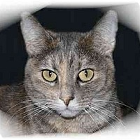 Domestic Shorthair Cat for adoption in Montgomery, Illinois - Kaci