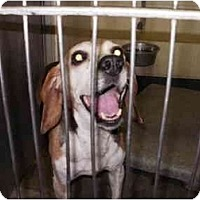 Adopt A Pet :: Lulabelle PENDING - Indianapolis, IN
