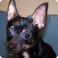 Adopt A Pet :: Domino - Jackson, MI