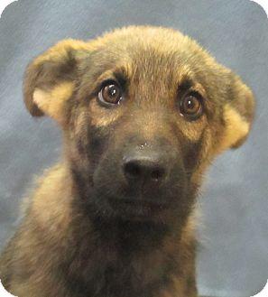 Shepherd (Unknown Type) Mix Puppy for adoption in Lloydminster, Alberta - Mangosteen