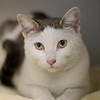 Domestic Shorthair Cat for adoption in Grayslake, Illinois - Suri