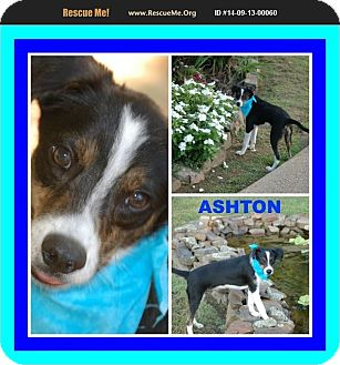 Terrier (Unknown Type, Small) Mix Dog for adoption in Malvern, Arkansas - ASHER