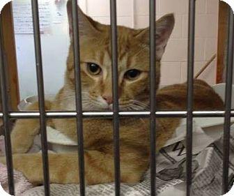 Domestic Shorthair Cat for adoption in Hannibal, Missouri - Max