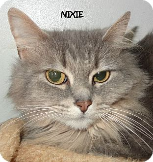 Persian Cat for adoption in Lapeer, Michigan - NIXIE--SWEET PERSIAN MIX