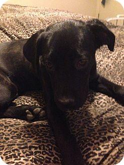 Boxer/Labrador Retriever Mix Puppy for adoption in Ridgecrest, California - Ellie