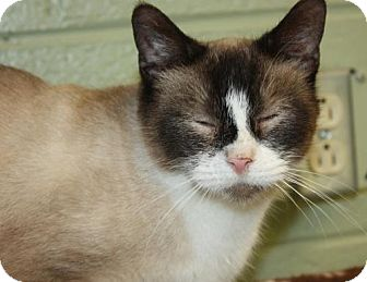 Siamese Cat for adoption in Cottageville, West Virginia - Christa