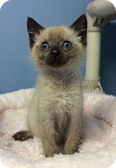 Siamese Kitten for adoption in Germantown, Tennessee - Serafina