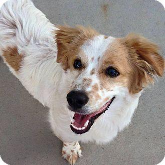 Australian Shepherd Mix Puppy for adoption in Litchfield Park, Arizona - Mickey
