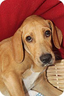 Hound (Unknown Type) Mix Dog for adoption in Waldorf, Maryland - Stu