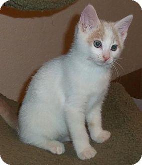 Siamese Kitten for adoption in Lisbon, Ohio - Gage - ADOPTED