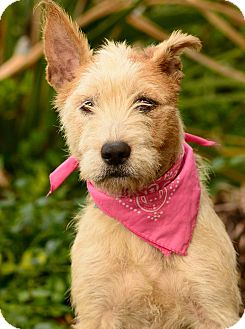Airedale Terrier/Australian Cattle Dog Mix Dog for adoption in Los Angeles, California - Rosabell