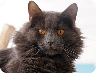 Domestic Longhair Cat for adoption in Maynardville, Tennessee - Copper
