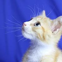 Domestic Shorthair Kitten for adoption in Winston-Salem, North Carolina - Jet