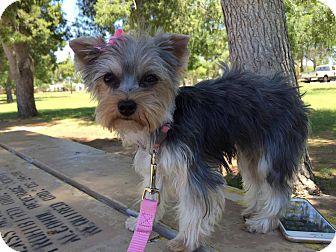Yorkie, Yorkshire Terrier Puppy for adoption in Phoenix, Arizona - CHARM