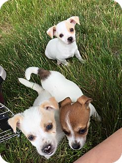 Jack Russell Terrier/Chihuahua Mix Puppy for adoption in Sharon Center, Ohio - Popcorn Puppies