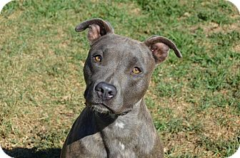 American Staffordshire Terrier Mix Dog for adoption in Santa Barbara, California - Avery