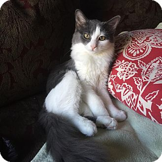 Domestic Shorthair Kitten for adoption in Naperville, Illinois - Lucy