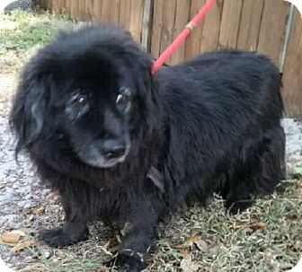 Spaniel (Unknown Type) Mix Dog for adoption in Gainesville, Florida - Maggie