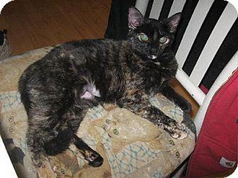 Domestic Shorthair Kitten for adoption in Walnutport, Pennsylvania - Farah