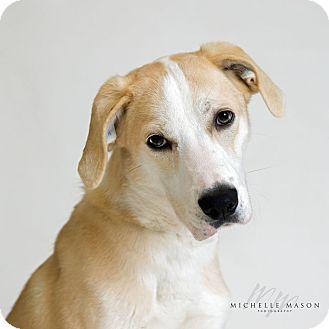 Labrador Retriever Mix Dog for adoption in Naperville, Illinois - Lilly