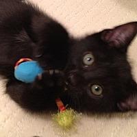 Domestic Shorthair Kitten for adoption in Piscataway, New Jersey - Jade