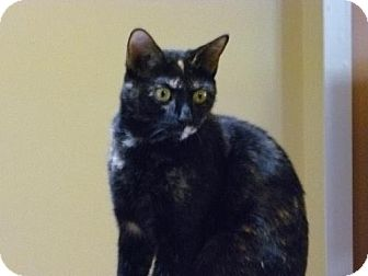 Domestic Shorthair Cat for adoption in Marlton, New Jersey - Onyx
