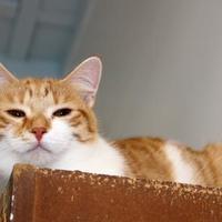 Adopt A Pet :: Tequila Sheila - Belleville, MI