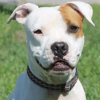 Adopt A Pet :: Sterling - San Antonio, TX
